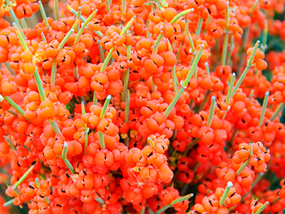 What is the deal with Ephedra? - NetNutri's Official Blog